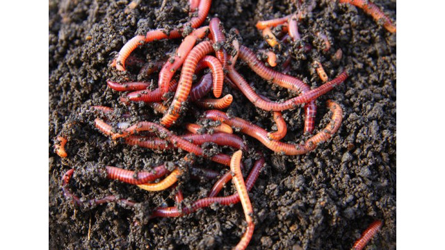red-wigglers-in-compost-537x387.jpg